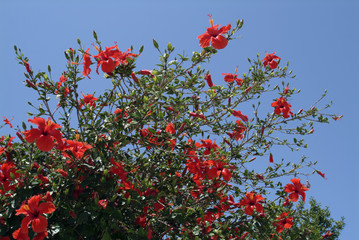 Red hibiscus flowers against a blue sky