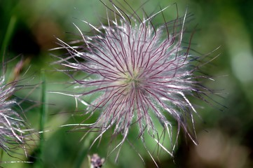 Pulsatilla, Meadow anemone, lilac blossom with seeds