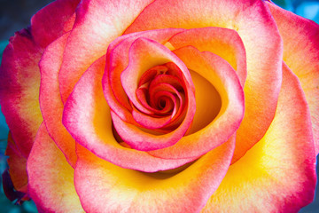 Beautiful flower of a multi-colored rose.