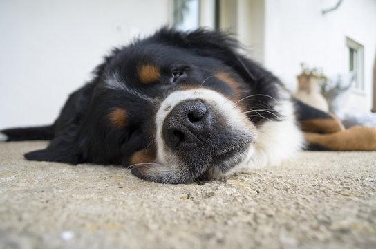 cane bovaro del bernese