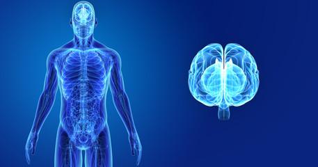 Brain zoom with Anatomy Anterior view