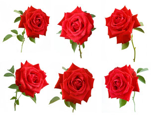 Beautiful rose isolated on white background set