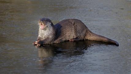 European otter in winter on ice