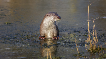 European otter in winter on ice