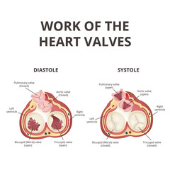 heart valves anatomy