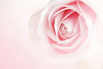 Soft pink roseon on blurred background
