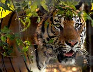 Wall Mural - Wild Siberian tiger on nature