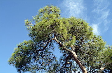 Pine trees in the Troodos Mountain Forest, Cyprus