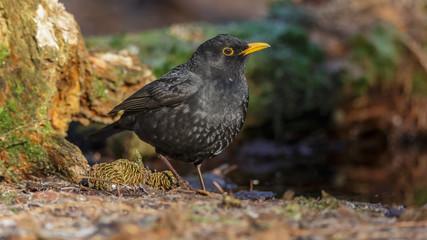 Blackbird in woods