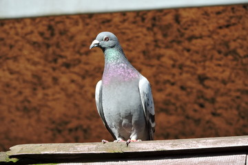 A homing pigeon