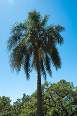 exotic palm trees in the park of Buenos Aires