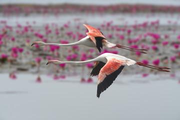Foto op Canvas Flamingo flamingos flying ,Beautiful bird