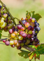 Cluster of Wine Grapes.