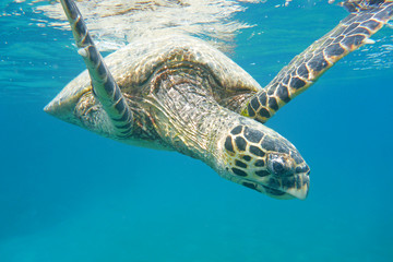 turtle floats in the sea