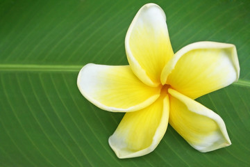 Beautiful frangipani flower