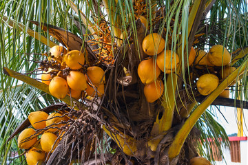 Palm with coconuts
