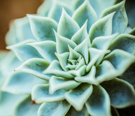 Succulent plant - close-up macro