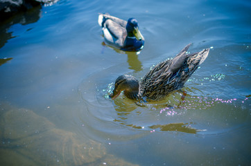 Two wild ducks swim in the river or lake