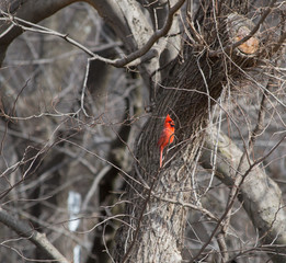 A bright red male cardinal chirping on a small tree branch.