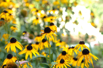 Sunflower Patch, Asheville NC