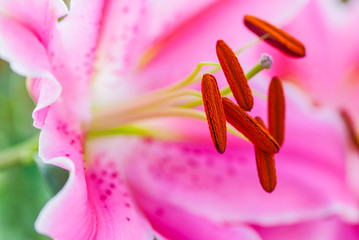 stamens of a flower, close-up - macro of a lily flower