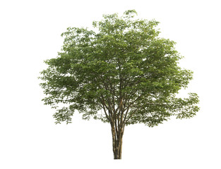 Green Tree at isolated on white background .