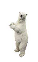 Foto op Plexiglas Ijsbeer Standing polar bear. Isolated over white background