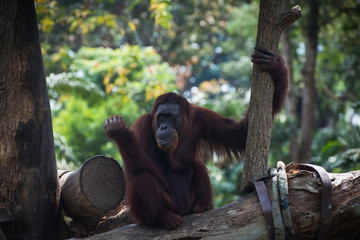 Smiling orangutan sits alone on the tree. Pensive primate looking away. Funny monkey on the nature background