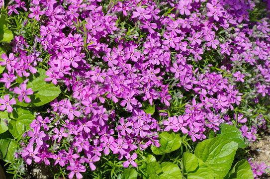 Blooming Phlox subulate (lat. Phlox subulata), background