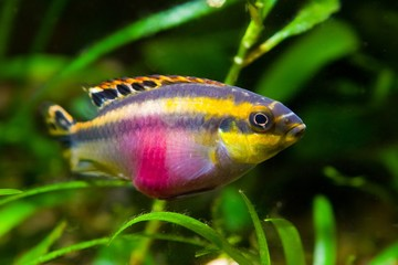 Pelvicachromis pulcher young female of freshwater fish from Afri