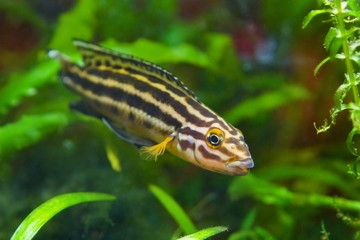 Julidochromis ornatus young male of freshwater fish from lake Ta