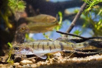 Zander or pike-perch (Sander lucioperca) juvenile freshwater fish, aquarium photo
