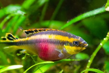 Pelvicachromis pulcher young female of freshwater fish from Africa, photo