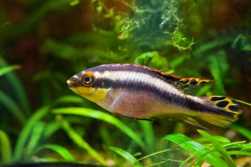 Pelvicachromis pulcher young male of freshwater fish from Africa