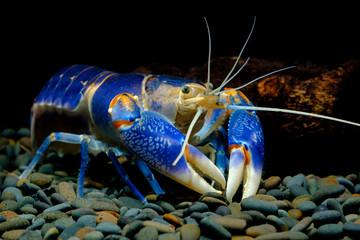 Crayfish volcano blue