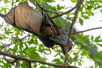 Flying fox hanging in a palm tree at the zoo in Leipzig, Germany