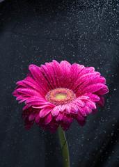 Water spray over red gerbera flower, black background