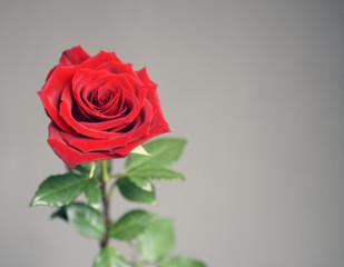 Petals of a bright red blossoming rose closeup