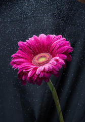 Water spray over red gerbera flower, black background