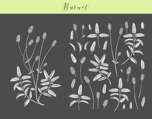 Vector burnet herb.