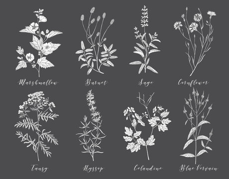 Vector medicinal herbs.