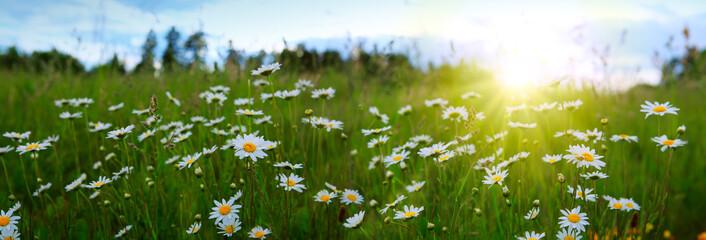 Photo sur Plexiglas Marguerites Sunset on daisies field.
