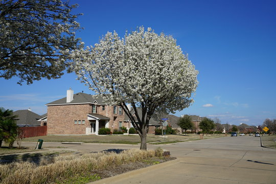 View of flowering pear tree in the suburbs of Dallas, Texas during spring
