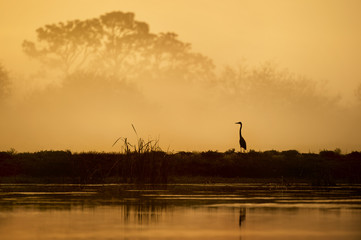 A Great Blue Heron silhouetted against a foggy sunrise scene with trees fading into view in the distance.