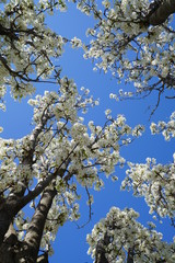 Looking up into the sky from the middle of a flowering pear tree in the suburbs of Dallas, Texas during spring