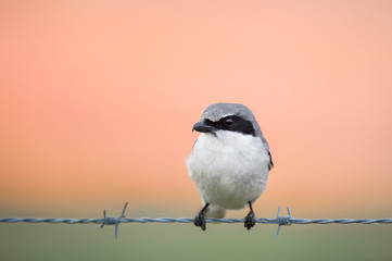 A Loggerhead Shrike perched on barbed wire with a soft pastel orange and pink smooth sky in the background.