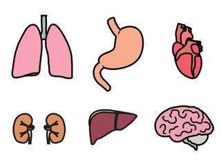 Внутренние органы человека4