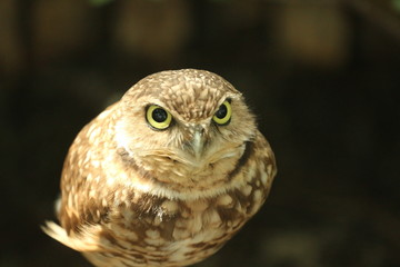 Portrait of a Burrowing owl / Florida Wildlife and bird