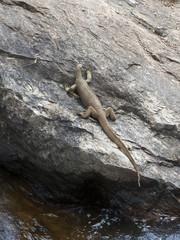 Sri Lankan Land Monitor Lizard resting on rocks