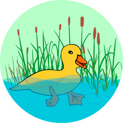 duck in the lake, swimming in the water